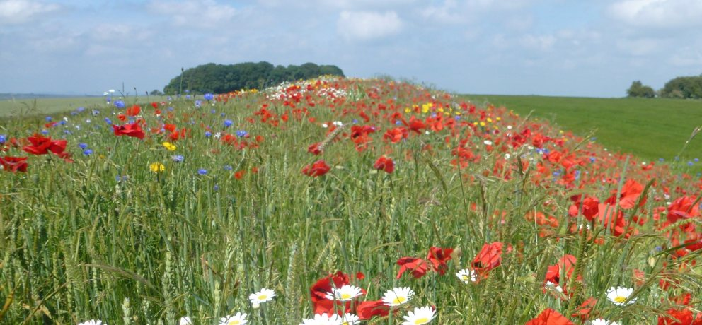 Wildflowers and Grass Mixtures
