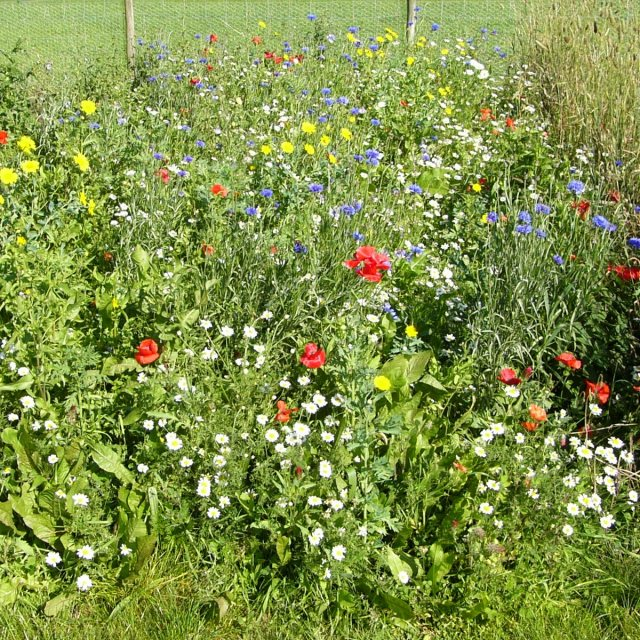 Standard Wildflower Mixture